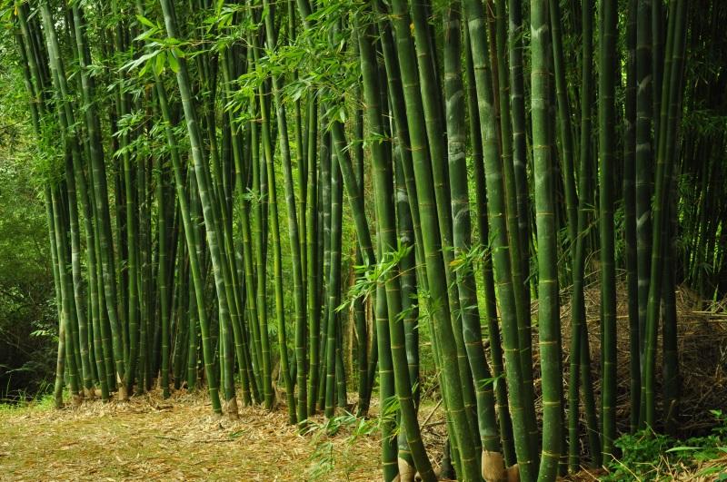 Bamboo Species Bamboo Society Of Australia Bsa
